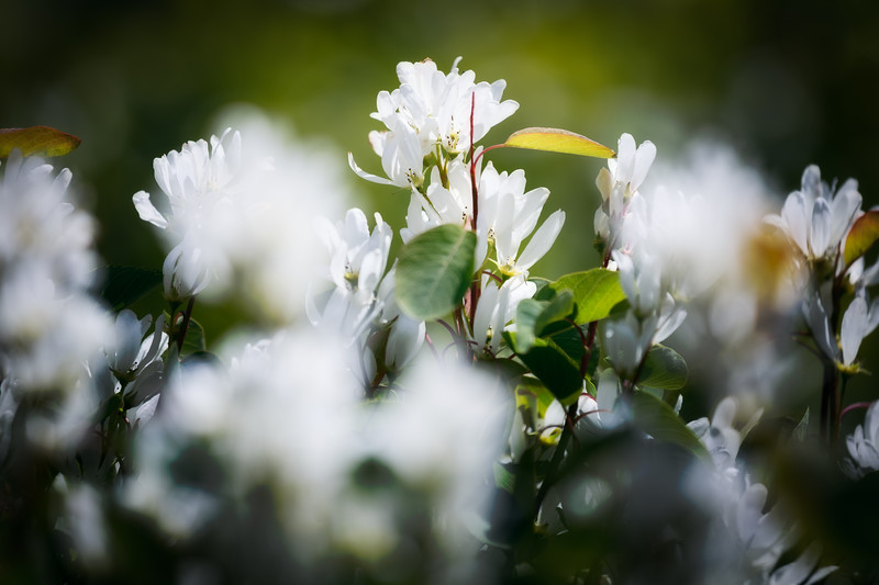 Kittitas, Bean Creek - Blooming white flowers on trees