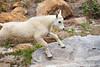 Stuart, Ingalls - Baby mountain goat running on rock