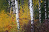Easton, Lavender Lake - Stand of tall aspen surrounded by colorful fall foliage