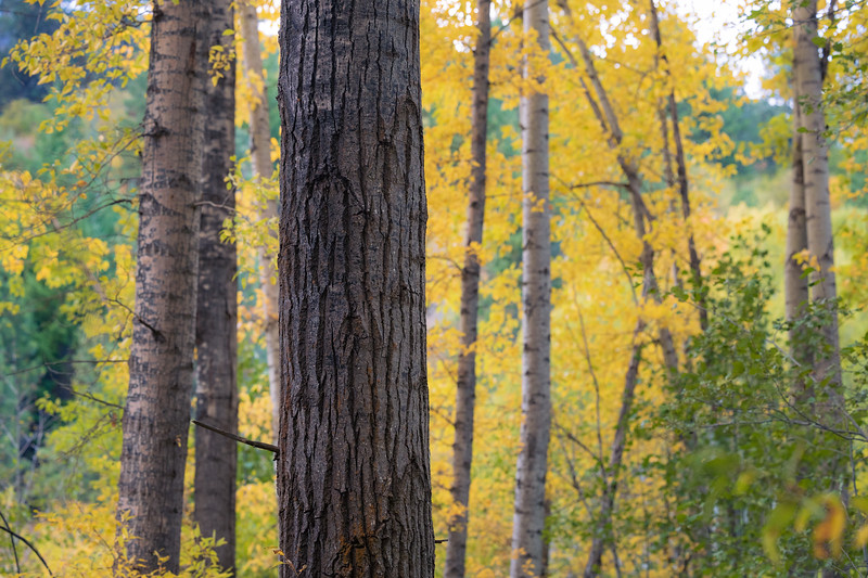 Kittitas, Cle Elum - Large tree trunk with smaller colorful trees behind