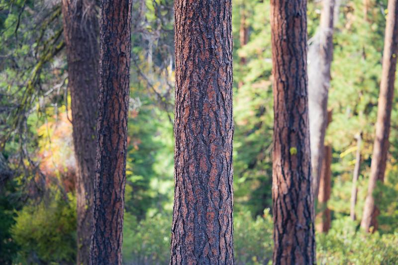 Kittitas, Blewett Pass - Pine tree trunk centered with others behind