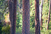 Kittitas, Blewett Pass - Pine tree trunk centered with others behind