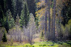 Kittitas, Teanaway - Tall trees in a meadow in the forest