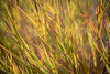 Kittitas, Thorp - Colorful grass backlit by sun