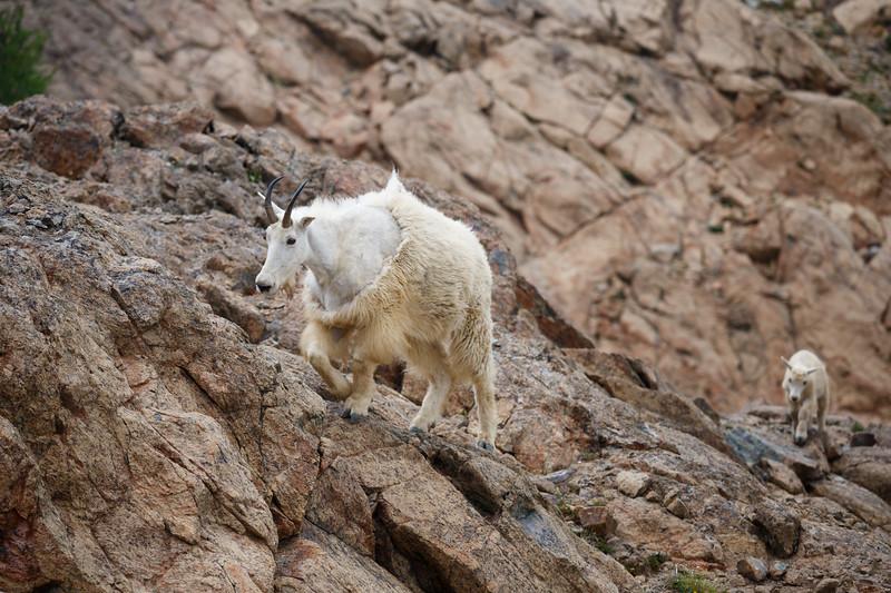 Stuart, Ingalls - Mountain goat leading a kid through rocks