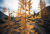 Stuart, Ingalls - Larch tree backlit by sun, wide angle