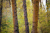 Kittitas, Cle Elum - Three tree trunks set amongst fall foliage