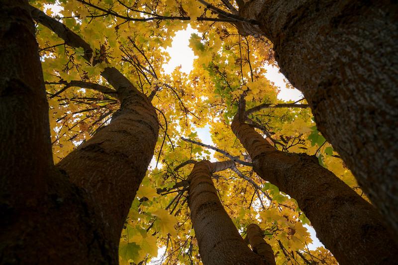 Kittitas, Thorp - Looking up trunk of maple tree