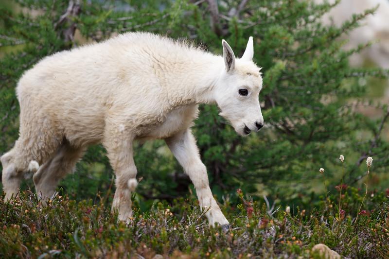 Stuart, Ingalls - Baby mountain goat smiling