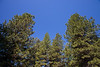 Kittitas, Teanaway - Tops of tall Ponderosa Pine trees