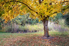 Kittitas, Thorp - Yellow maple tree