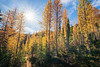 Stuart, Ingalls - Sun illuminating large stand of larch with trail