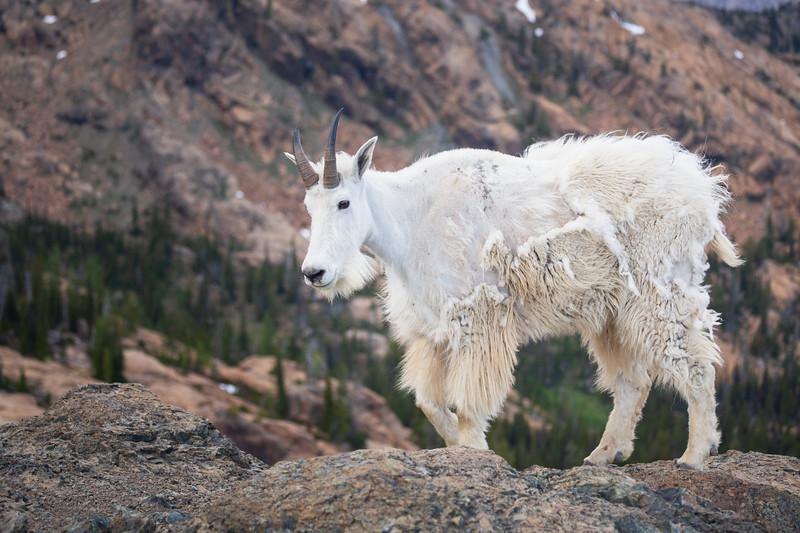 Stuart, Ingalls - Mountain goat on a ridge exploring the Ingalls Pass area