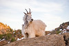 Stuart, Ingalls - Mountain goat facing with winter coat