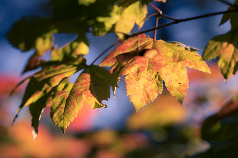 Leavenworth, Tumwater - Red and yellow leaves close up