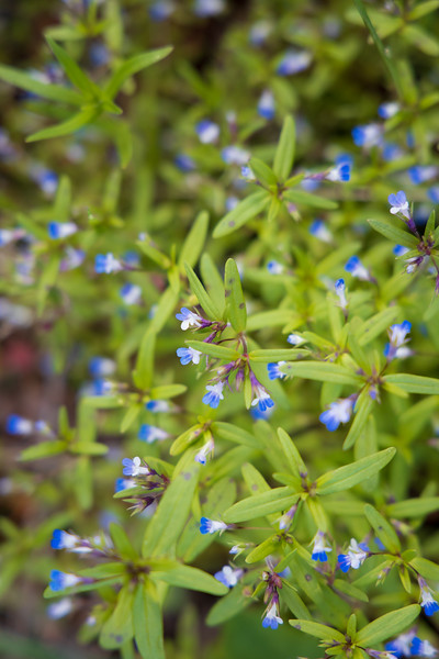 Kittitas, Peoh Point - Small blue flower cloe up