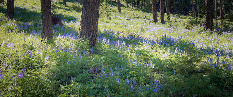 Kittitas, Watts Canyon - Small stand of purple lupine with shadows underneath tall trees