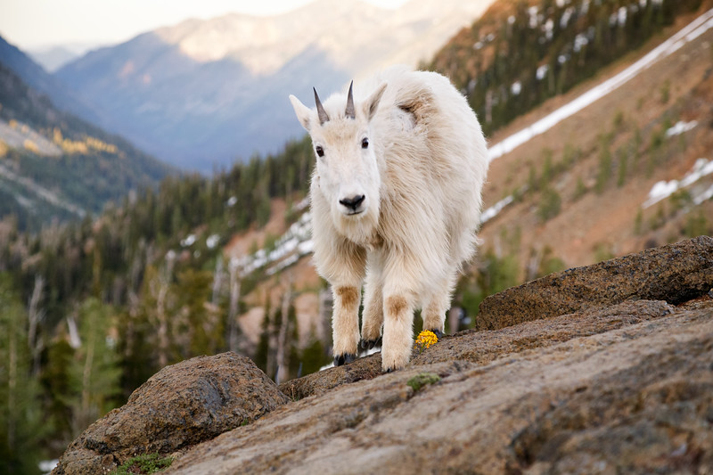 Stuart, Ingalls - Juvenile mountain goat approaching the camera