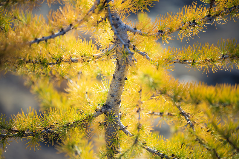 Stuart, Ingalls - Close up of larch tree with S shaped trunk