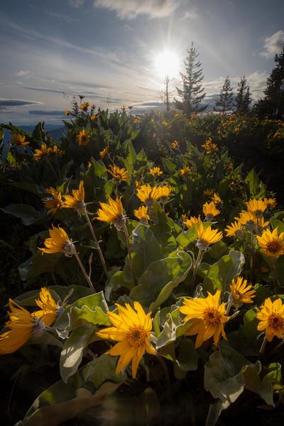 Kittitas, Kachess Beacon - Setting sun over some wildflowers