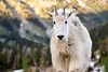 Stuart, Ingalls - Juvenile mountain goat staring at camera