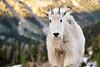 Stuart, Ingalls - Juvenile mountain goat staring at camera