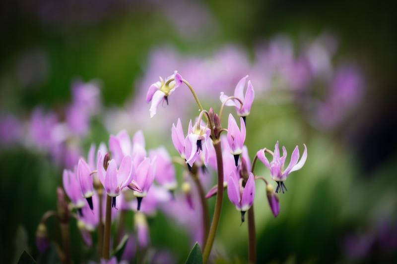 Kittitas, Bean Creek - Pink and purple flower close up