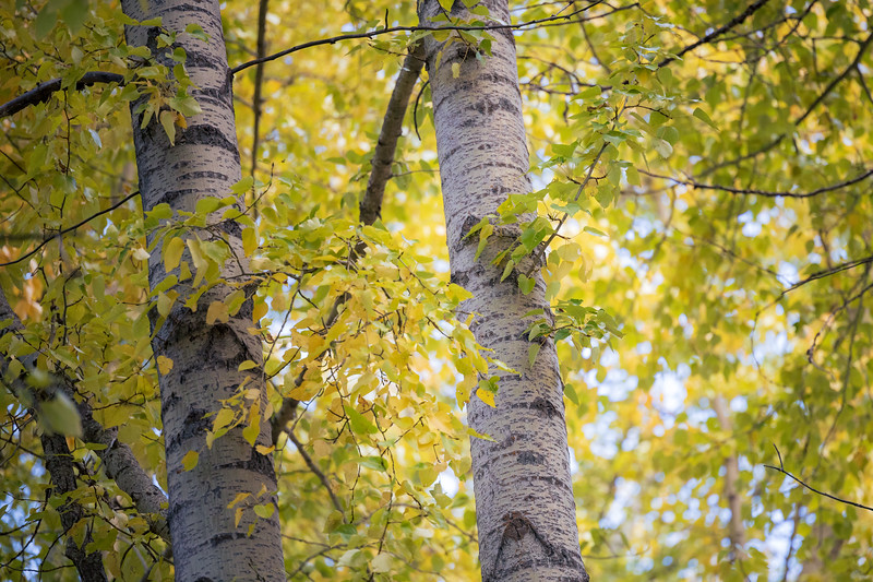 Kittitas, Cle Elum - Two tree trunks with early fall color