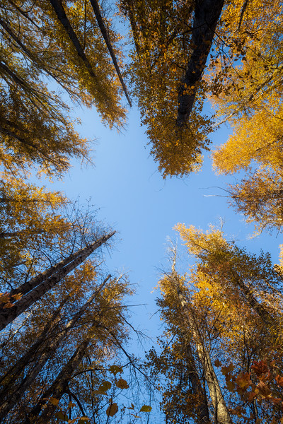 Easton, Pond - Looking up at tall yellow cottonwoods