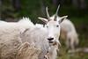 Stuart, Ingalls - Mountain goat with eyes half closed