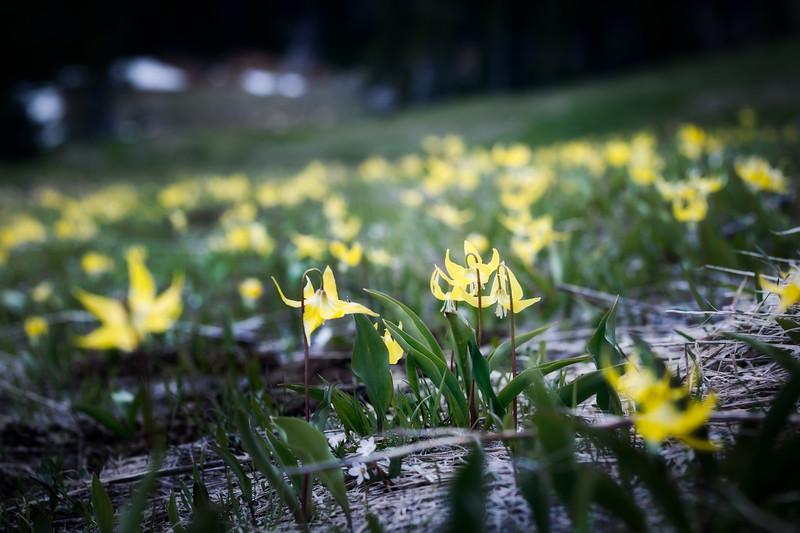 Kittitas, Bean Creek - Carpet of yellow flowers on valley floor