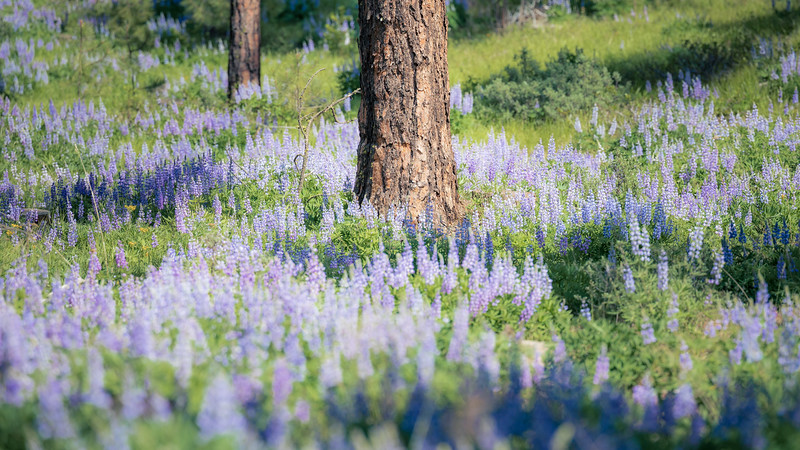 Kittitas, Watts Canyon - Distant tree trunk surrounded by lupine