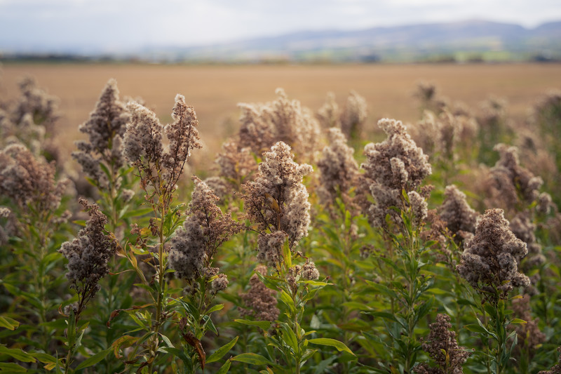 Kittitas, Thorp - Plants gone to seed on edge of field