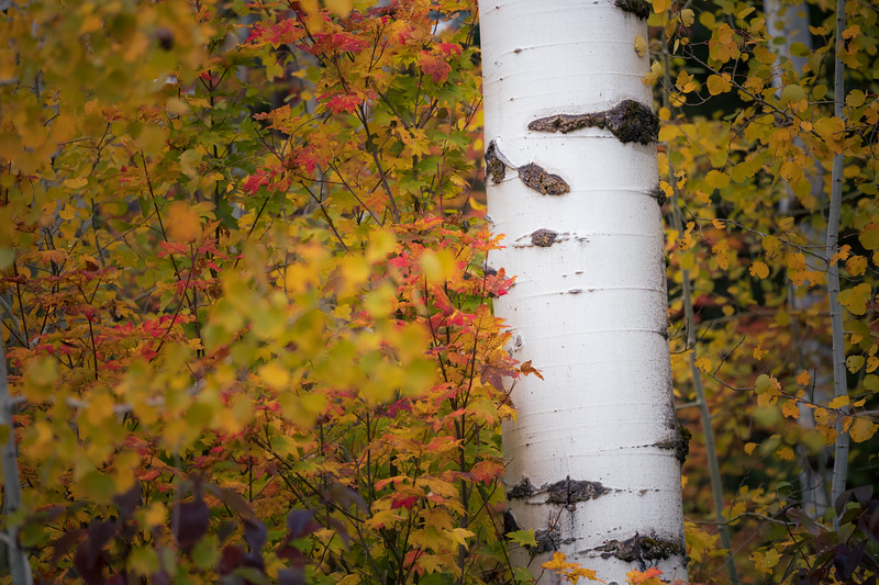 Easton, Lavender Lake - Close up of tall aspen with red and yellow foliage