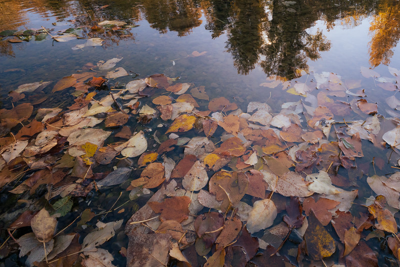 Easton, Pond - Fallen leaves floating in the river with reflected trees