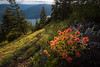 Kittitas, Kachess Beacon - Patch of red Indian Paintbrush wildflowers near sunset