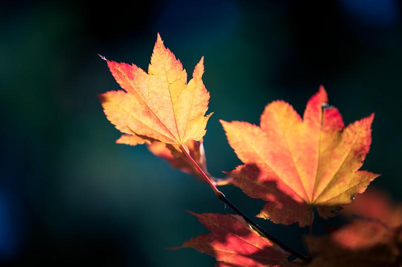 Leavenworth, Tumwater - Bright backlit maple leaf, angled