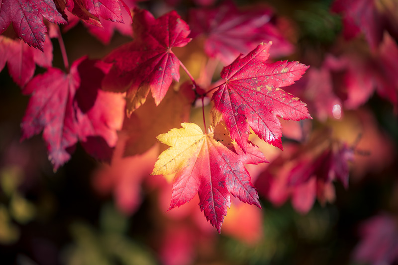 Easton, Pond - Bright red maple leaf close up