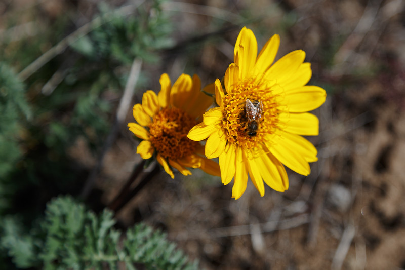 Yakima, Snow Mountain Ranch - Close up of a yellow flower
