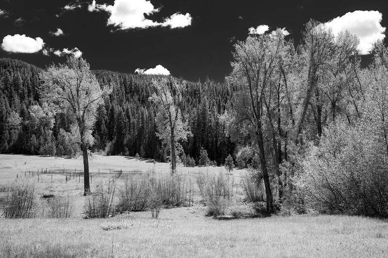 Kittitas, Teanaway - Meadow with tall trees, black and white