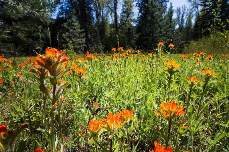 Kittitas, Teanaway - Field of Indian Paintbrush flowers, tall flower