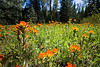 Kittitas, Teanaway - Field of Indian Paintbrush flowers, tall flower