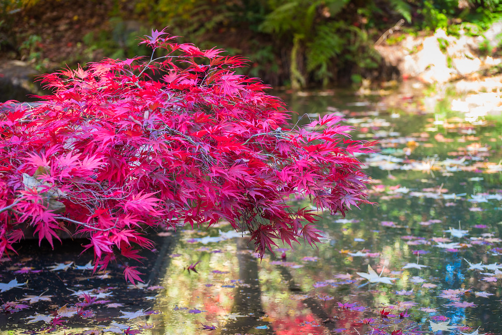 Japanese Maple at the Washington Park Arboretum in Seattle.
