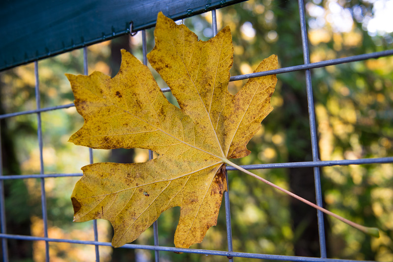 A leaf in a fence