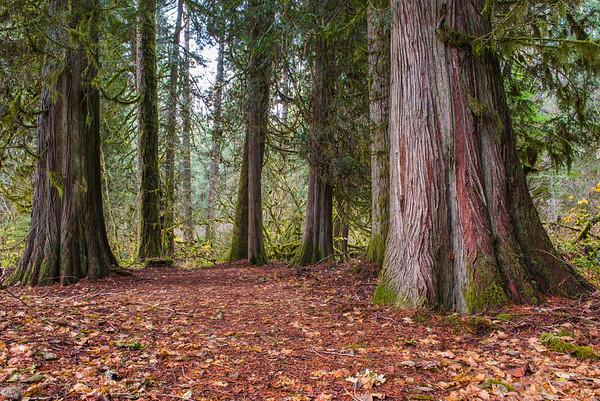 Federation Forest Cedars