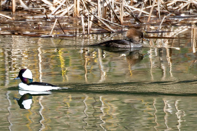 Mergansers Common (male-L) and Hooded (female R)