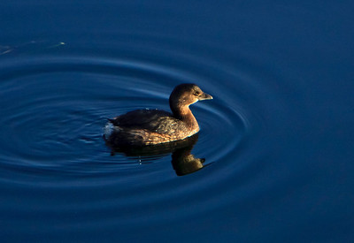 Pied-billed Grebe (winter non-breeding plumage)