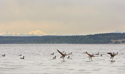 Brant with Mount Baker in background