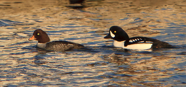 Barrow's goldeneye - Male and female