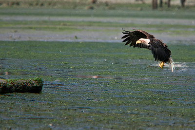 Bald eagle following a tasty meal